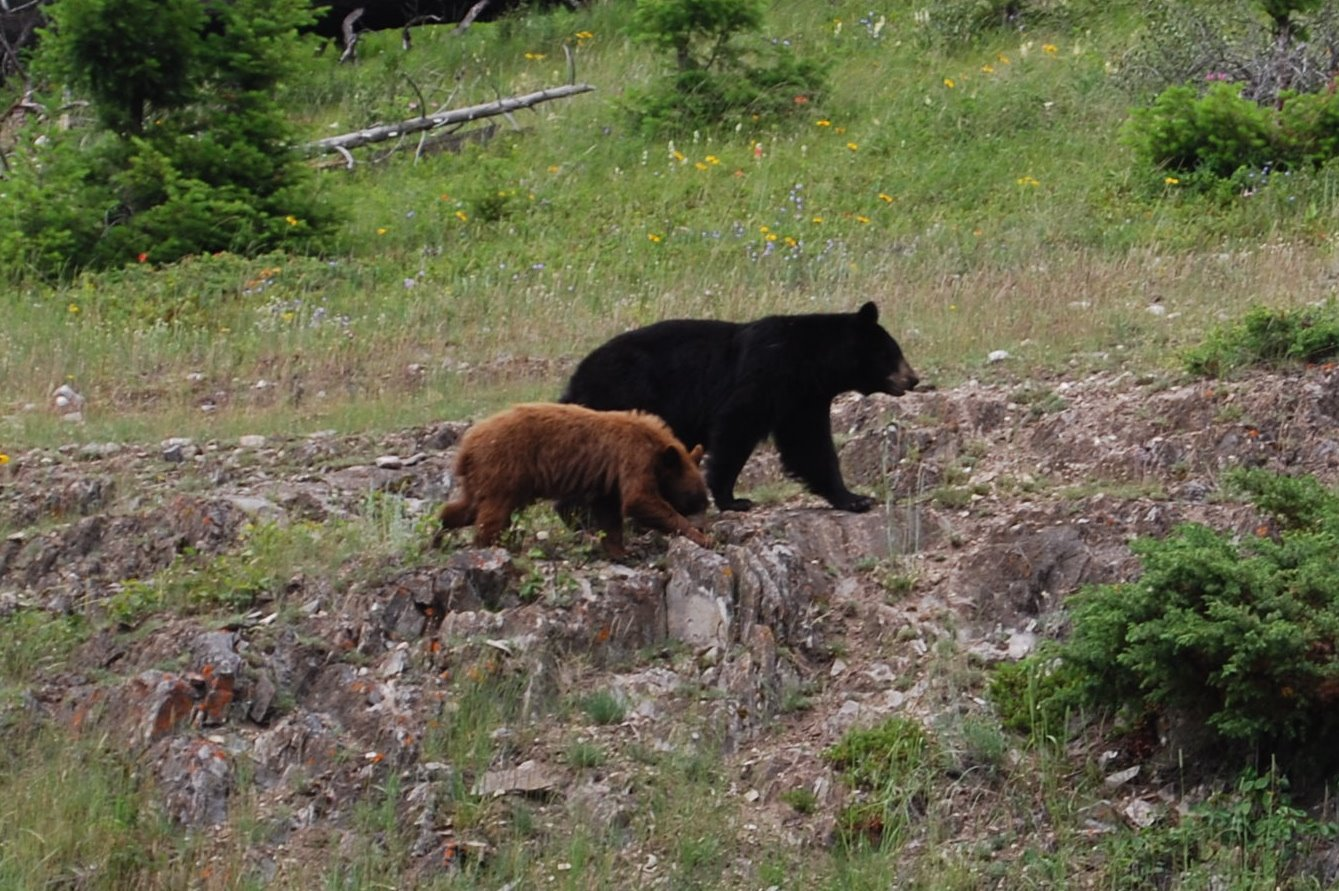 Black Bear, Brown Cub photo