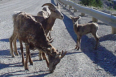 Big Horn Sheep (Ewes)