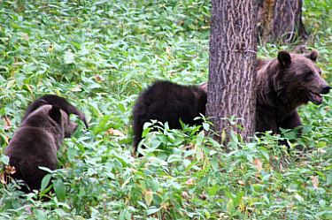 Grizzly Bear (Sow) & Cubs