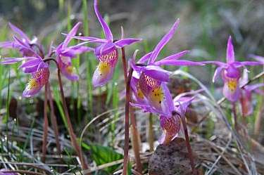 Calypso Bulbosa Orchid (Fairy's-Slipper)