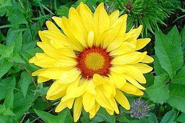 Arrowhead Balsam Root (Spring Sunflower)