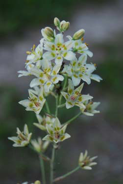 White / Death / Smooth Camas