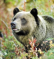 boo the grizzly bear